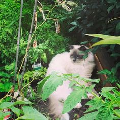 Oscar. Hanging out in the veggie garden. #catsofinstagram #ragdoll #summerheat #sydney #garden