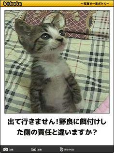 出て行きません!野良に餌付けした側の責任と違いますか? I Love Cats, Cute Cats, Kittens Cutest, Cats And Kittens, Fur Babies, Little Babies, Photography Movies, Kawaii Cute, Beautiful Cats
