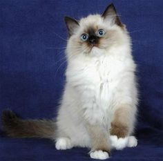 Ragdoll Cat, kinda remindes me of Sophie when she was a kitten