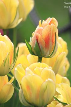 """blooms-and-shrooms: """" Tulip by MDDahl """""""
