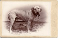Cabinet Card c. 1890 of a large dog (puppy?) photographed in the Mandeville studio in Lowville, New York.