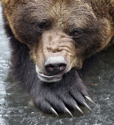 Grrrrrr: An early-riser bear wakes up two weeks early from his winter hibernation
