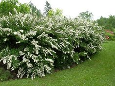 snow mound spirea - my favorite I call it Bridal Wreath....