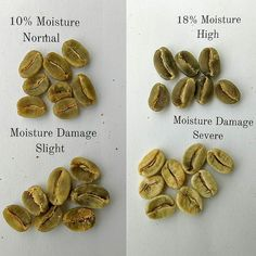 "DEFECTS IN COFFEE PT. 2: #Greencoffee should be between 9-11% moisture at storage otherwise the acidity fades and the #coffee quickly takes on old stale musky flavors. Even  a slightly high moisture level of 13% reduces the shelf life and degrades the flavors remarkably fast - and you could taste it in the cup.  To test moisture famers & professionals either use the ""bite test"" or a moisture meter. And in dramatic circumstances you can see the color changes on the bean from a deep green to…"