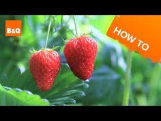 How to Grow Strawberry Plants (Including Jam Recipes) | Dengarden