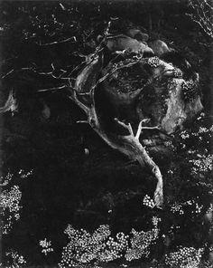 "Edward Weston | Cypress, Rock, Stone Crop (""Cypress and Succulents""), Point Lobos, California"
