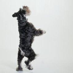 If you have a mini schnauzer who digs up your plants, barks incessantly, chews better than any teething baby, jumps on your furniture and is just plain wearing you out, calm this doggy down. Schnauzer Grooming, Schnauzer Breed, Miniature Schnauzer Puppies, Mini Schnauzer, Schnauzers, Stop Dog Barking, Silly Dogs, Most Popular Dog Breeds, Aggressive Dog