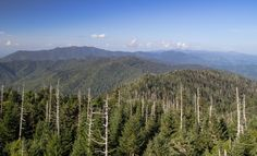 Trees dying in the Smoky Mountains from the hemlock wooly adelgid insects.