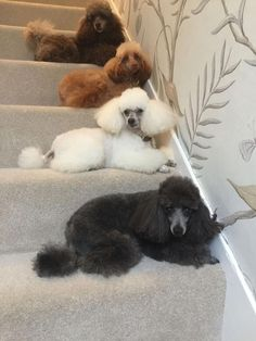 """Visit our website for additional relevant information on """"poodle puppies"""". It is a great area to find out more. Dog Training Methods, Training Your Dog, I Love Dogs, Cute Dogs, Puppy Obedience Training, Positive Dog Training, Poodle Grooming, Easiest Dogs To Train, Dog Behavior"""