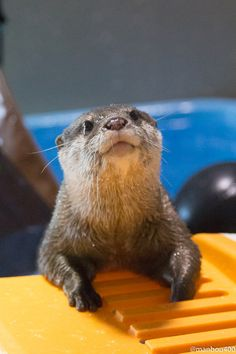 All Sea Otters are very cute. ☺❤