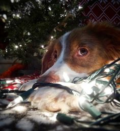 Ma can you read me the night before Christmas story again?  #tuckerthebc  Here's an entry for @graywoof @lexiesheartbeat @blueeyeskye and @thedoxieteers contest! #ChristmasSpiritContest  Here's an entry for @harlowandsage @hollyupnorth @miniaussie_bryn and @hootandco contest! #barkthehalls2  Follow my PAWSOME partner @sheldonandkingston  Save 10% off of your entire @animalhearted order with the code: 'TUCKNOAK10'! The link to their store is in my profile!  #weeklyfluff #mannyandfriends…
