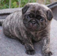 A Brindle Pug