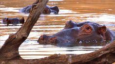 Image: Hipopótamo de cerca al pozo de agua