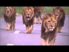 Scary video of Lions walking towards car! Walking Gif, Lion Walking, Scary Lion, Big Cat Diary, Bad Video, Cat Memes, Big Cats, Lions, Shark Attacks