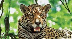 Jaguar, © David Stein