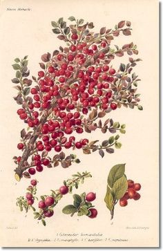 Revue Horticol - Botanical Prints - Illustrated Book Plate Illustration from Revue Horticole 1800s - Botanical Print -  15 - COTONEASTER Painting