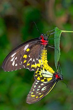 A pair of Troides rhadamantus mating