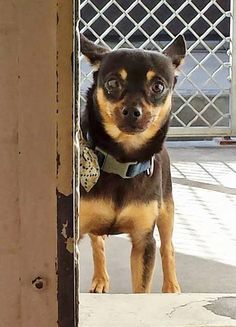 URGENT--LUCKY was brought to the shelter because his family had him live outside and felt he was too talkative he gets along with kids but he is terrified in the shelter. He needs help now. Please SHARE, a FOSTER would save his life. Thanks! #A4804160 My name is Lucky and I'm an approximately 3 year old male chihuahua sh. https://www.facebook.com/171850219654287/photos/pb.171850219654287.-2207520000.1425417005./377323302440310/?type=3&theater