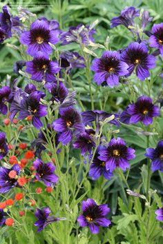 Salpiglossis is extremely floriferous & long blooming