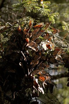 Monarch Butterfly Sanctuary | Mexico