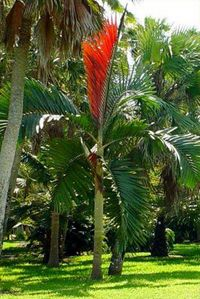 Flame Thrower Palm Tree ndash Chambeyronia macrocarpa: The Flame Thrower Palm Tree, scientific name Chambeyronia macrocarpa, is an exotic palm tree with bright red leaflet that emerges among dark green feathery fronds. Because of the red leaflet this p… Tropical Flowers, Palm Tree Flowers, Tropical Plants, Florida Landscaping, Tropical Landscaping, Landscaping Plants, Unusual Plants, Exotic Plants, Cool Plants