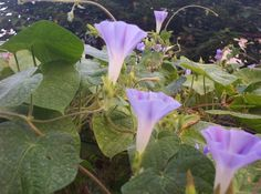 Good, Morning Glories!