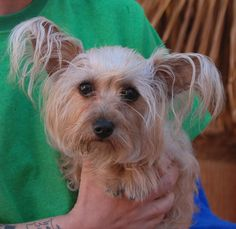 Penny is a tiny, 6-pound sweetheart, a Skye Terrier mix, about 3 years young, spayed girl, debuting for adoption today at Nevada SPCA (www.nevadaspca.org).  She is good with other dogs.  Penny has a flamboyant appearance with beautiful, feathered ears.  But she is down-to-earth, humble, and wonderfully sweet.