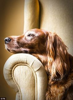 Colombian Adriana Bernal came 2nd in the Oldies catergory with her image of a 10-year-old Irish Setter resting in an arm chair