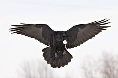 Raven flying, egg in mouth, wings outstretched