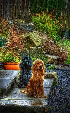 https://flic.kr/p/7kPxtc | Dogs | These cocker spaniels were kind enough to sit still so I could take a HDR shot, what great posers.
