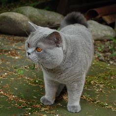 British shorthair cat ❤❤❤