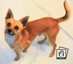 Animal ID34081047  SpeciesDog  BreedChihuahua, Short Coat/Mix  Age1 year 6 months 25 days  GenderMale  SizeSmall  ColorTan  Spayed/Neutered  SiteDepartment of Animal Services, City of El Paso  LocationSally Port  Intake Date7/2/2017