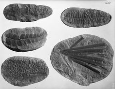 Fossil Friday, Pennsylvanian plants. © The Field Museum, GEO81531. Pennsylvanian flora and fossil plants. 8x10 negative 7/15/1955