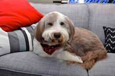 Chester the bearded collie cuddles up on the couch on a cold winter day. Canada 2013