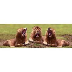 Lions Yawning Photography Art, Multicolor