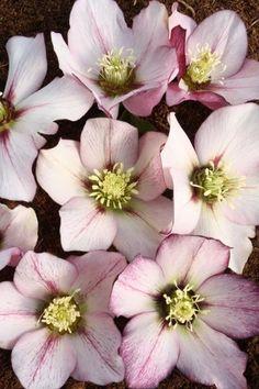 Helleborus x hybridus PDN Picotee 1 QT|Juniper Level Botanic Gdn, NC|