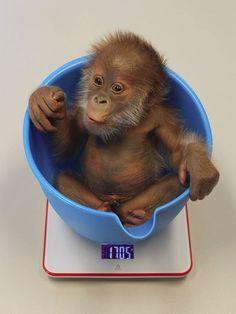Bebê Orangotango - rejeitada pela mãe (Foto: Zoológico de Berlim)