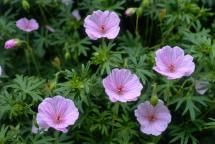 7 Flowers Bugs Hate: Bloody Cranesbill