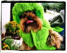 """Spike goes GREEN!  My little Yorkie has become a """"Porkie""""....so for treats, he's now getting Green Beans instead of Greenies.  For added """"zest,"""" I make shavings from Greenies by using a carrot grater, and I sprinkle the shavings on Spike's green beans."""