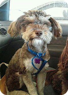 Seattle, WA - Terrier (Unknown Type, Small)/Poodle (Miniature) Mix. Meet Jules, a puppy for adoption. http://www.adoptapet.com/pet/11762001-seattle-washington-terrier-unknown-type-small-mix