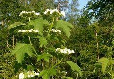 Lodjapuu on tavaliselt kasutuses aedades ilupõõsana, kuid tegelikult on taime tuntud juba ammust ajast ka ravimtaimena.