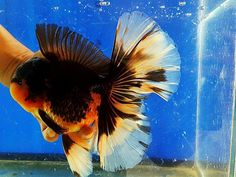 Big Tri Color Home Aquarium, Aquarium Fish, Oranda Goldfish, Types Of Gold, Cool Fish, Water Life, Exotic Fish, Colorful Fish, Sea World