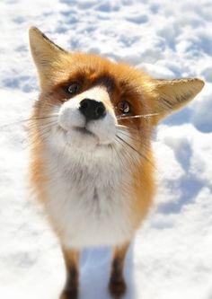 Fox | Vixen | Tod | Renard | лисица | Zorro | 狐 | Sionnach | Volpe |