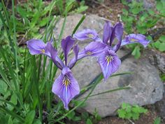 Iris tenax (Pacific Northwest native) -- 1ft tall, 2ft wide, blooms in May, full sun to light shade, drought tolerant once established