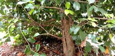 Read this article to find out why holly branches can lose their leaves and how to prune them if they do.