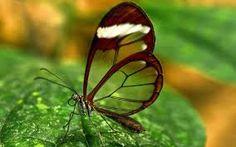 A semi-transparent Butterfly!