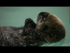 Dammit... Sea Otter Pup Eating at Shedd Aquarium.