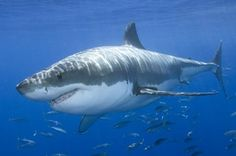 Great White Shark - Currently endangered because people hunt this shark but it's also endangered due to marine pollution and decreasing food sources.
