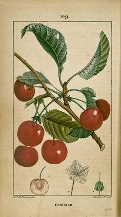 img/dessins-gravures de plantes medicinales/cerisier.jpg