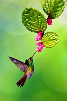 Absolutely beautiful. Rufous Tailed Hummingbird - ©Massimo Basso (via National Geographic)